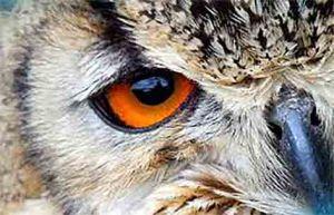 owl eye web