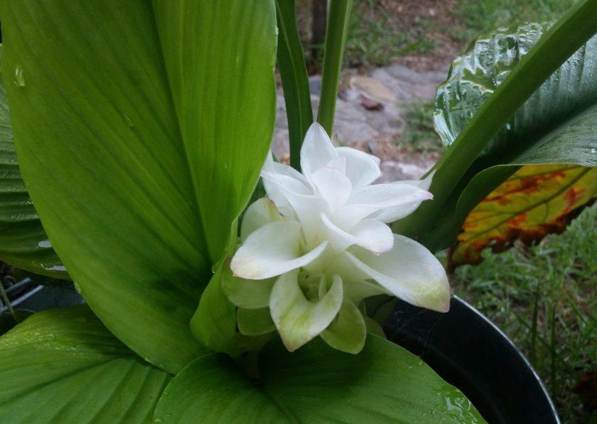 Tumeric Flower
